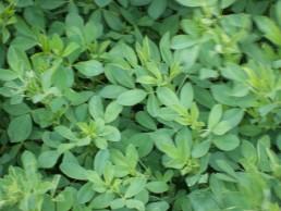 Alfafa Seed